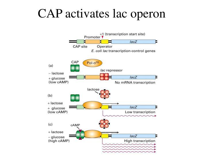 CAP activates lac operon