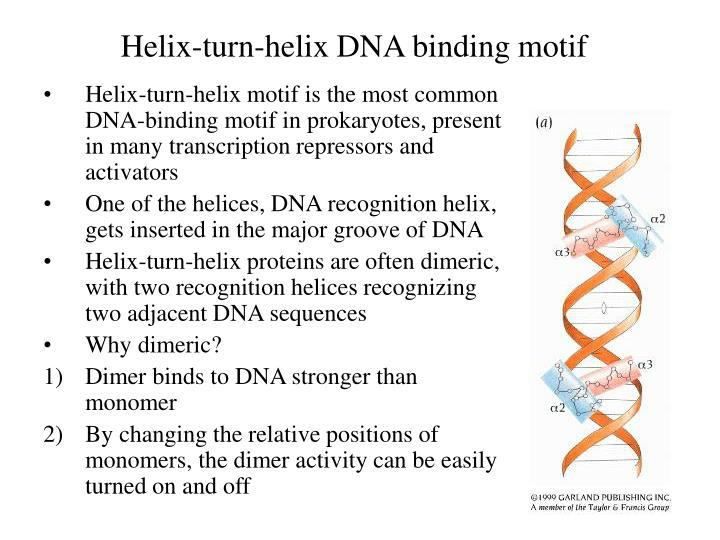 Helix-turn-helix DNA binding motif