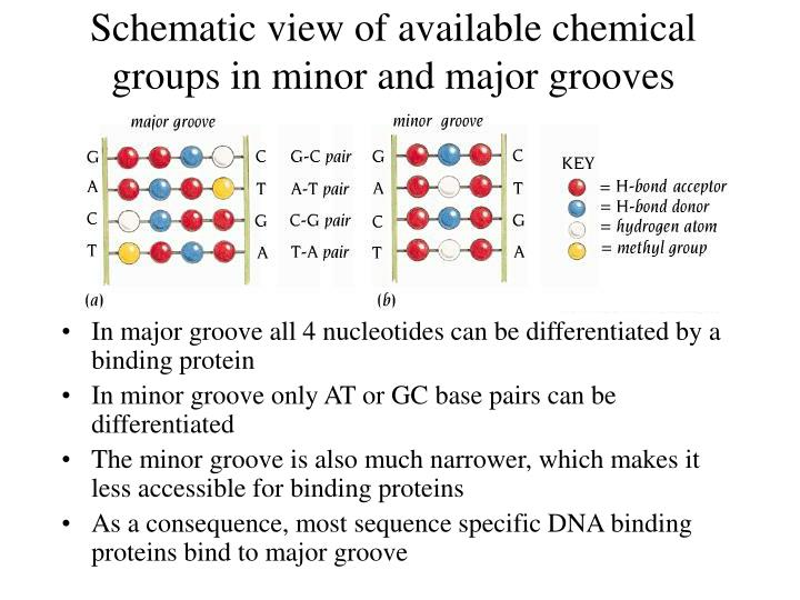 Schematic view of available chemical groups in minor and major grooves