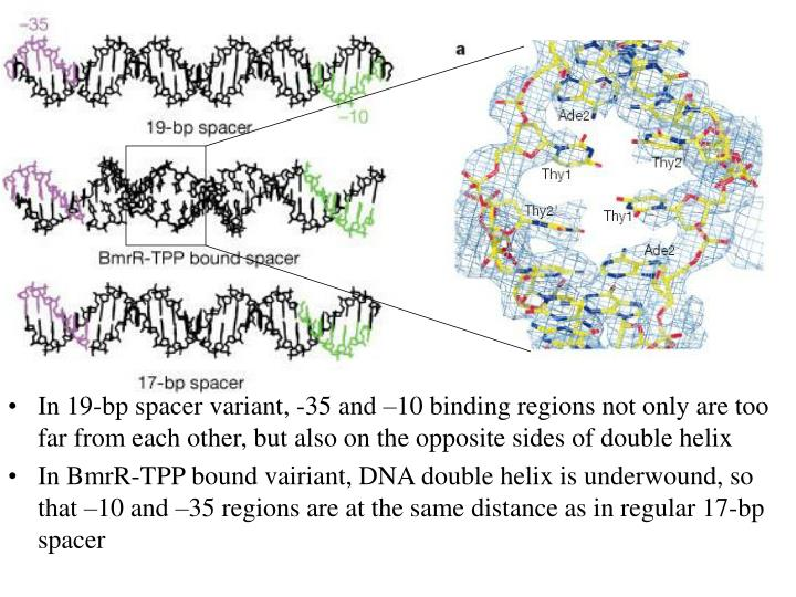 In 19-bp spacer variant, -35 and –10 binding regions not only are too far from each other, but also on the opposite sides of double helix
