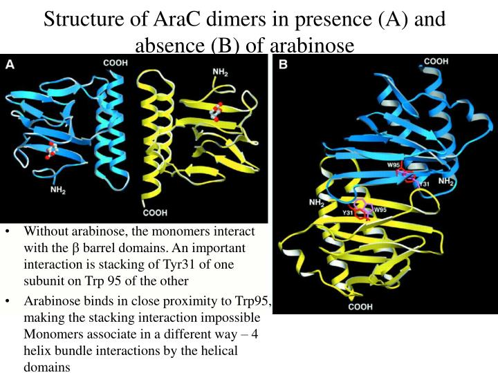 Structure of AraC dimers in presence (A) and absence (B) of arabinose