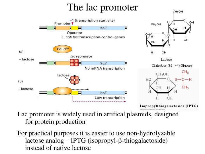 The lac promoter