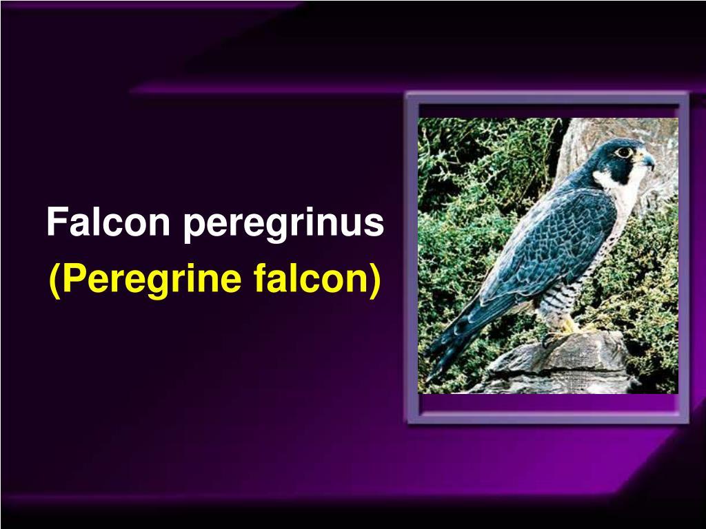 Falcon peregrinus