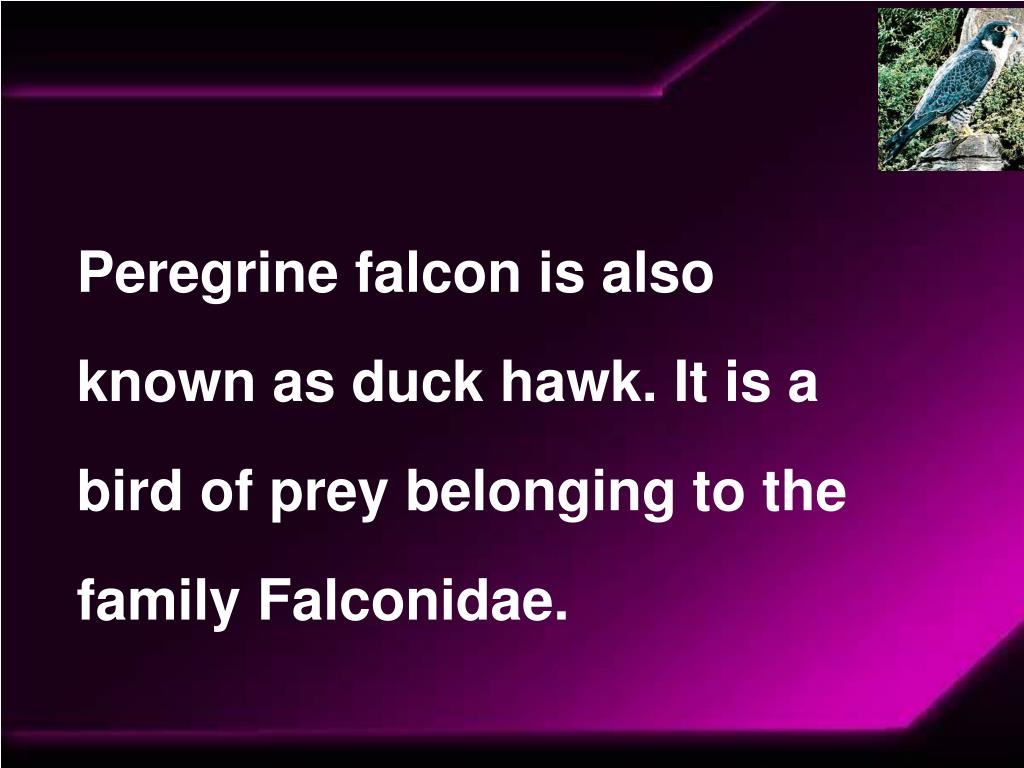 Peregrine falcon is also known as duck hawk. It is a bird of prey belonging to the family Falconidae.