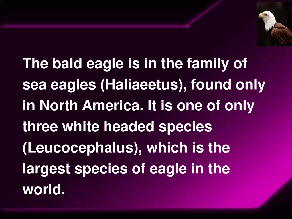 The bald eagle is in the family of sea eagles (Haliaeetus), found only in North America. It is one of only three white headed species (Leucocephalus), which is the largest species of eagle in the world.