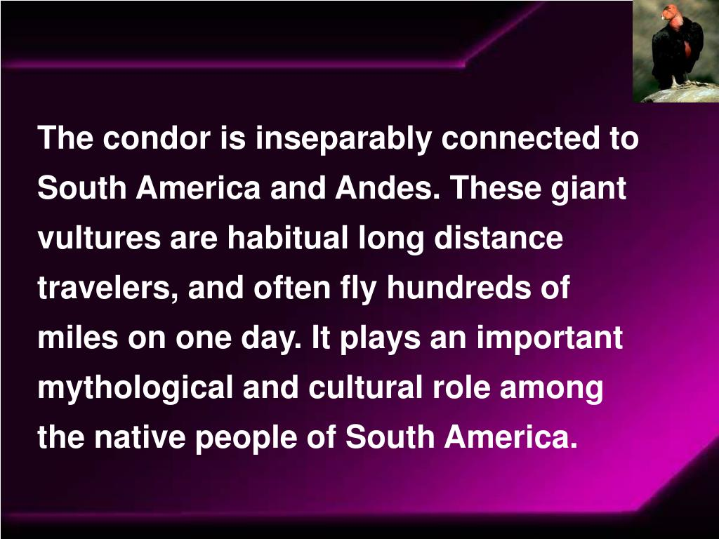 The condor is inseparably connected to South America and Andes. These giant vultures are habitual long distance travelers, and often fly hundreds of miles on one day. It plays an important mythological and cultural role among the native people of South America.