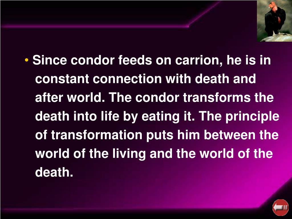 Since condor feeds on carrion, he is in
