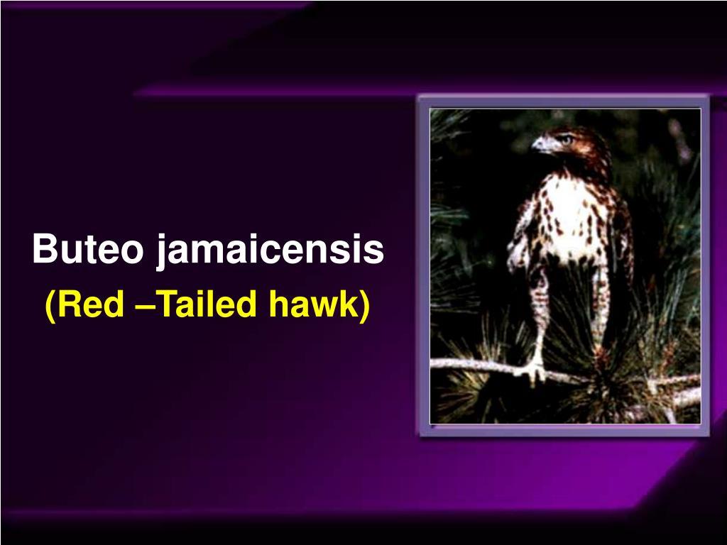 Buteo jamaicensis