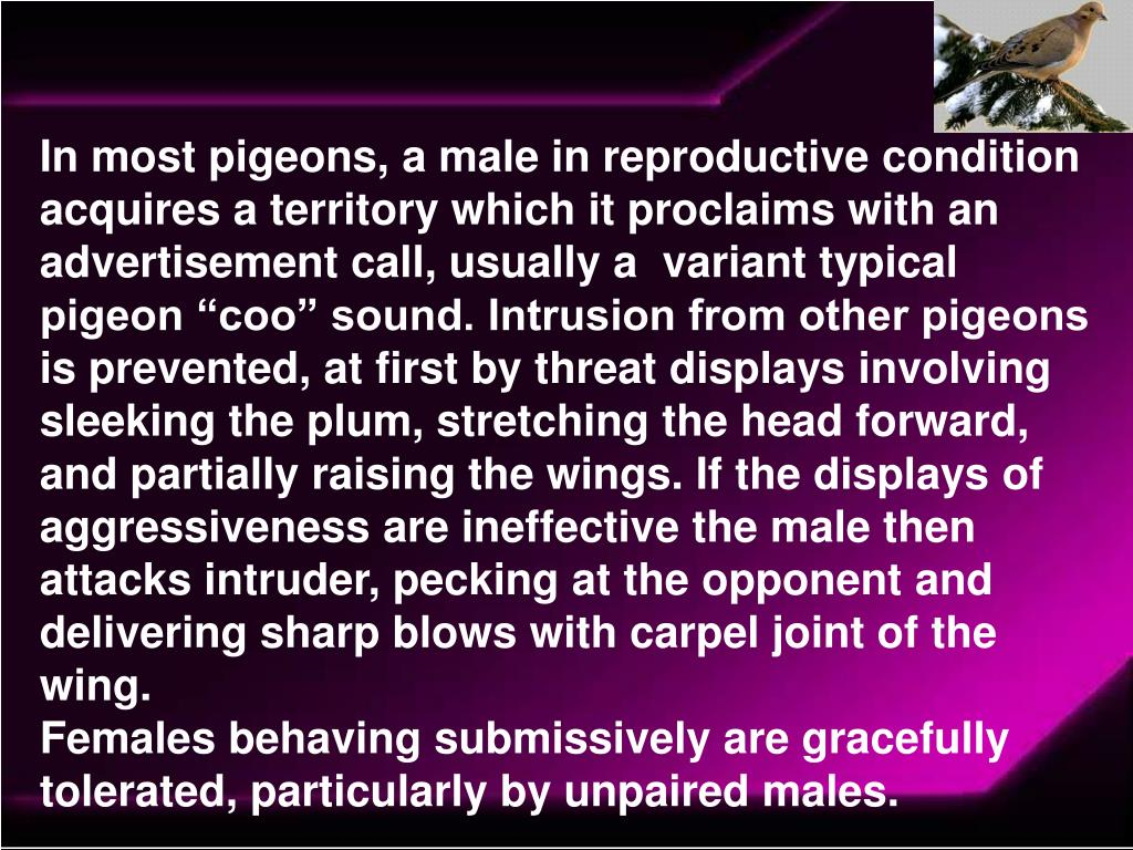 "In most pigeons, a male in reproductive condition acquires a territory which it proclaims with an advertisement call, usually a  variant typical pigeon ""coo"" sound. Intrusion from other pigeons is prevented, at first by threat displays involving sleeking the plum, stretching the head forward, and partially raising the wings. If the displays of aggressiveness are ineffective the male then attacks intruder, pecking at the opponent and delivering sharp blows with carpel joint of the wing."