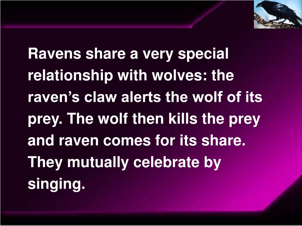 Ravens share a very special relationship with wolves: the raven's claw alerts the wolf of its prey. The wolf then kills the prey and raven comes for its share. They mutually celebrate by singing.