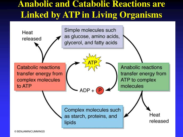 atp coupling of catabolic and anabolic reactions