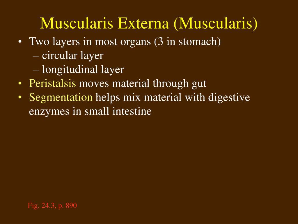 Muscularis Externa (Muscularis)