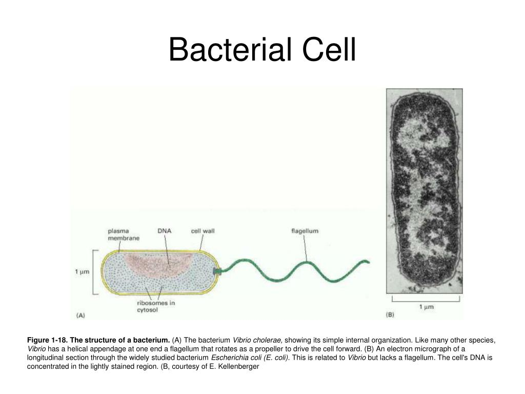 Bacterial Cell