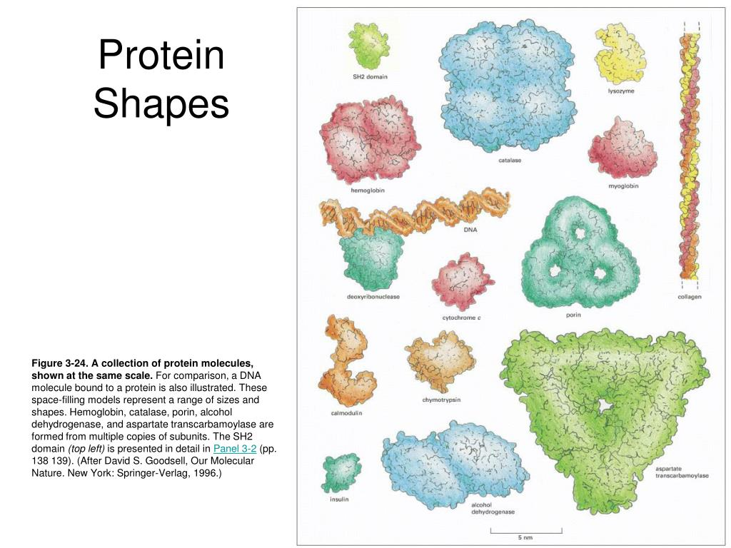 Protein Shapes