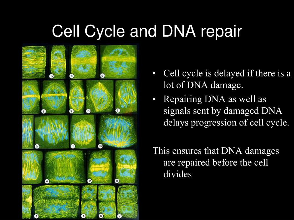 Cell Cycle and DNA repair