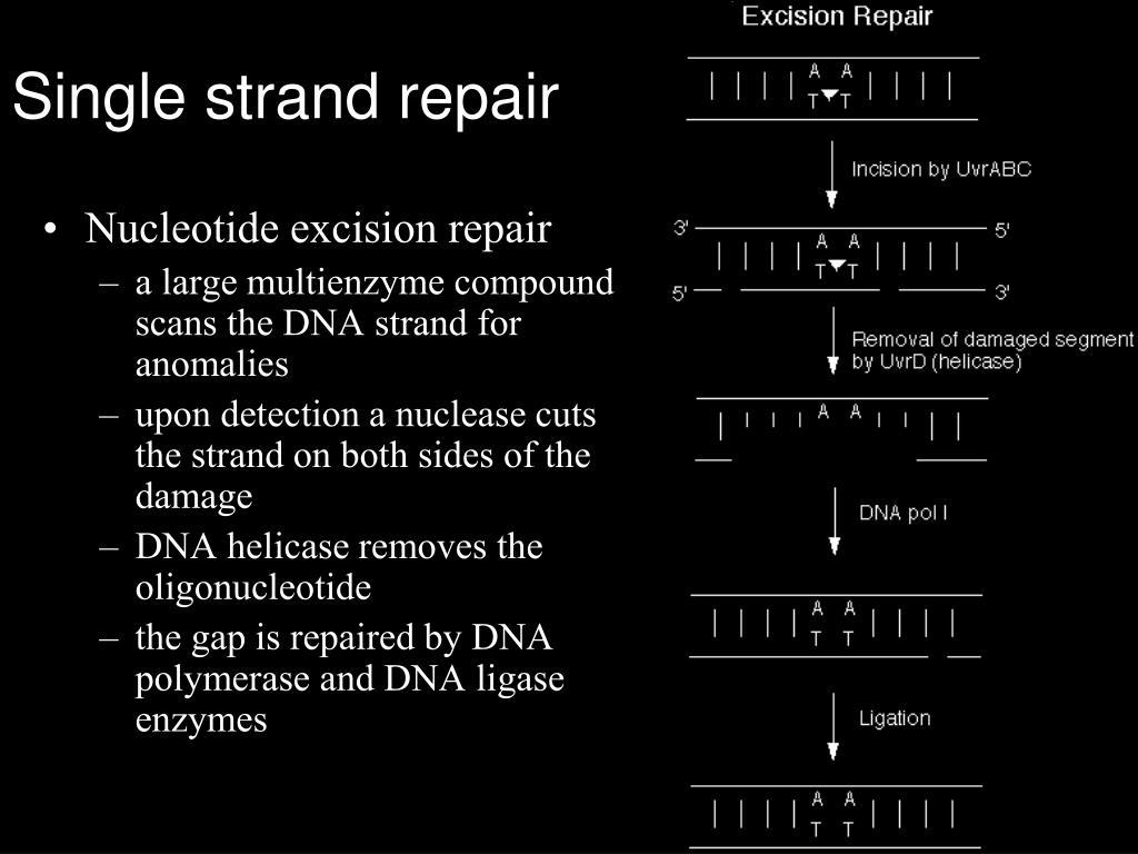 Single strand repair