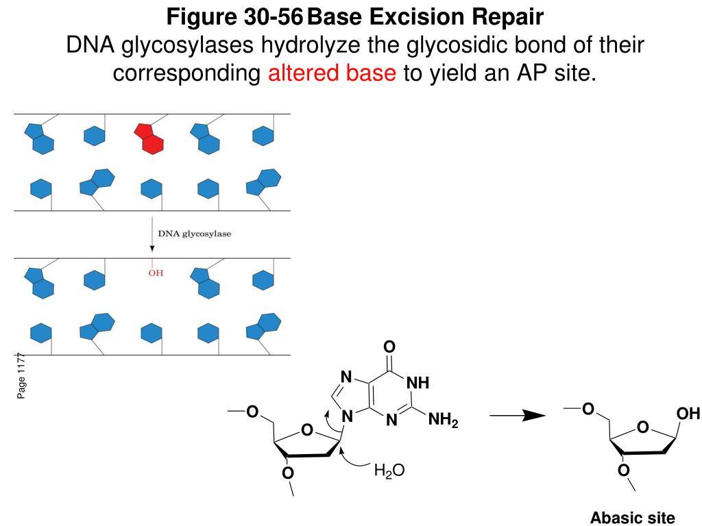 Figure 30-56Base Excision Repair