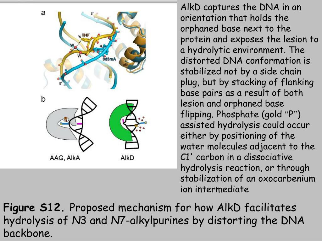 AlkD captures the DNA in an orientation that holds the orphaned base next to the protein and exposes the lesion to a hydrolytic environment. The distorted DNA conformation is stabilized not by a side chain plug, but by stacking of flanking base pairs as a result of both lesion and orphaned base flipping. Phosphate (gold