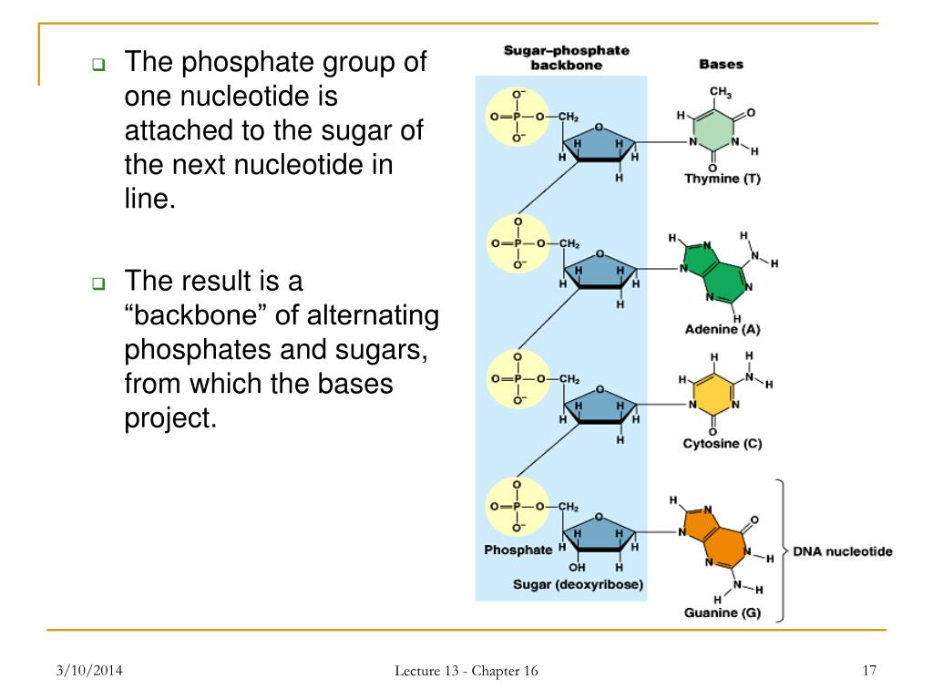 The phosphate group of one nucleotide is attached to the sugar of the next nucleotide in line.