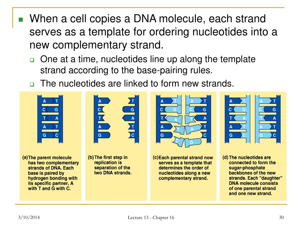 When a cell copies a DNA molecule, each strand serves as a template for ordering nucleotides into a new complementary strand.