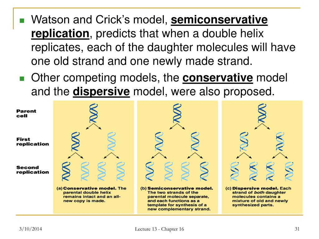 Watson and Crick's model,
