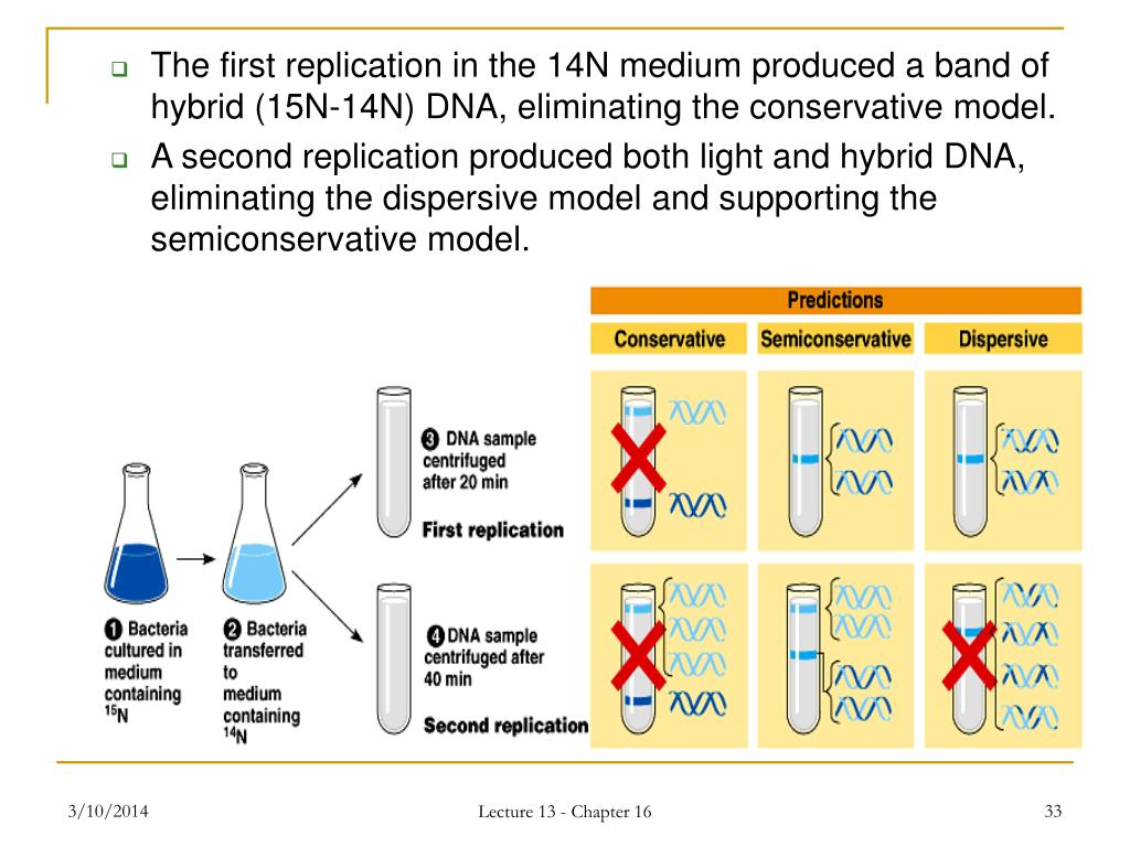 The first replication in the 14N medium produced a band of hybrid (15N-14N) DNA, eliminating the conservative model.