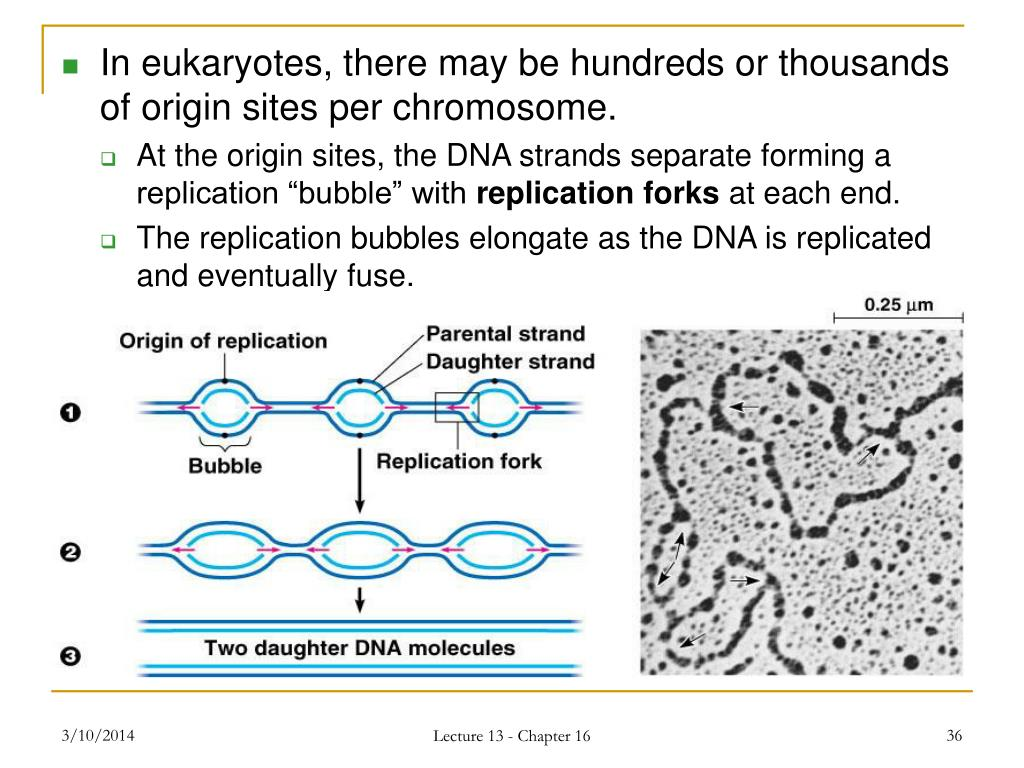 In eukaryotes, there may be hundreds or thousands of origin sites per chromosome.