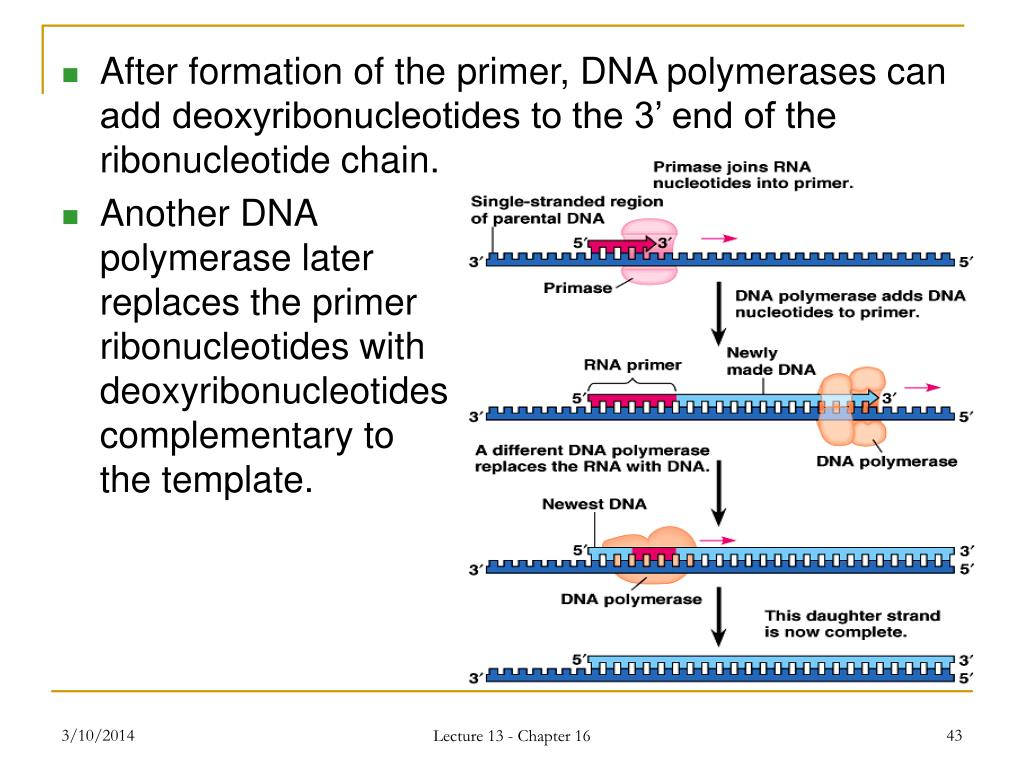 After formation of the primer, DNA polymerases can add deoxyribonucleotides to the 3' end of the ribonucleotide chain.