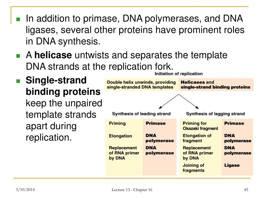 In addition to primase, DNA polymerases, and DNA ligases, several other proteins have prominent roles in DNA synthesis.