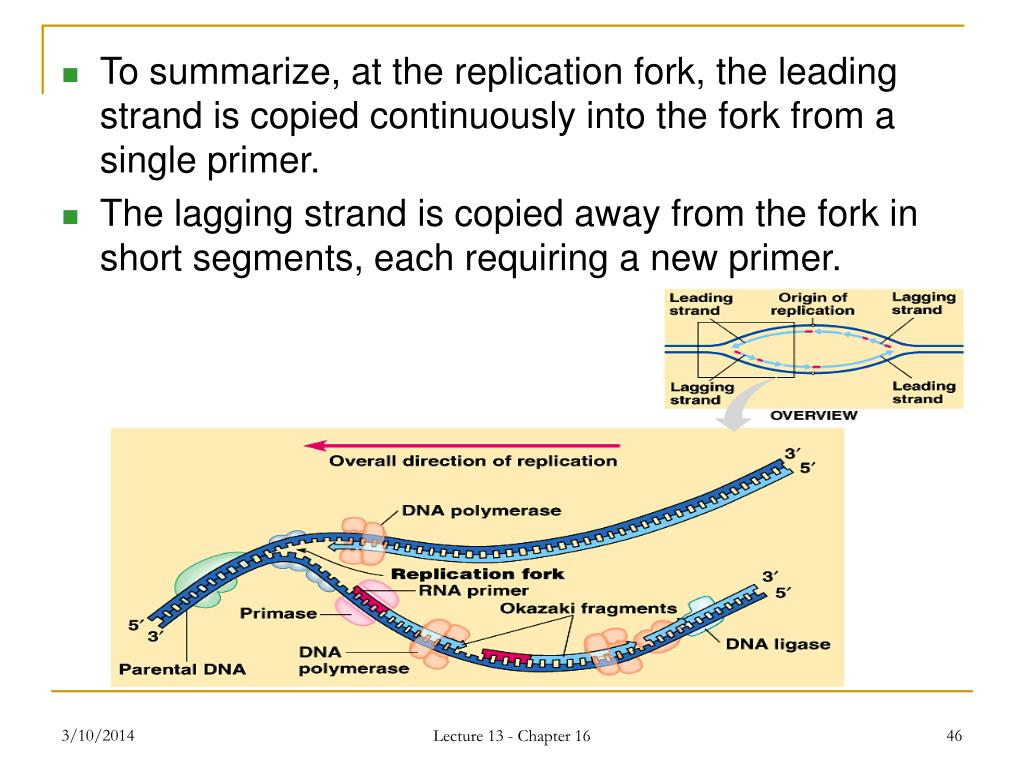 To summarize, at the replication fork, the leading strand is copied continuously into the fork from a single primer.