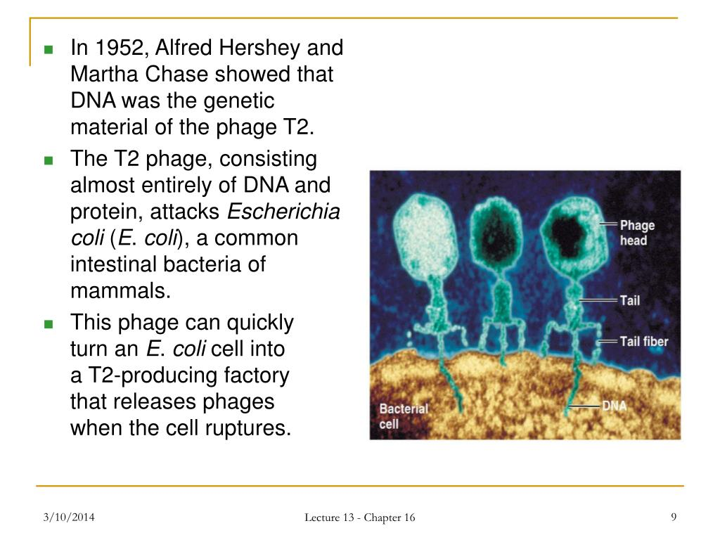 In 1952, Alfred Hershey and Martha Chase showed that DNA was the genetic material of the phage T2.