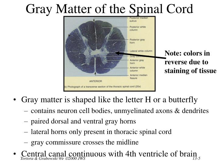 Gray Matter of the Spinal Cord