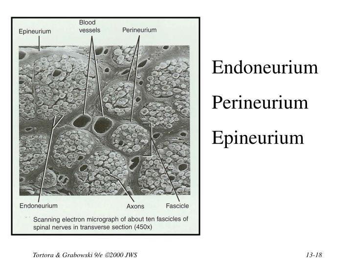 Endoneurium