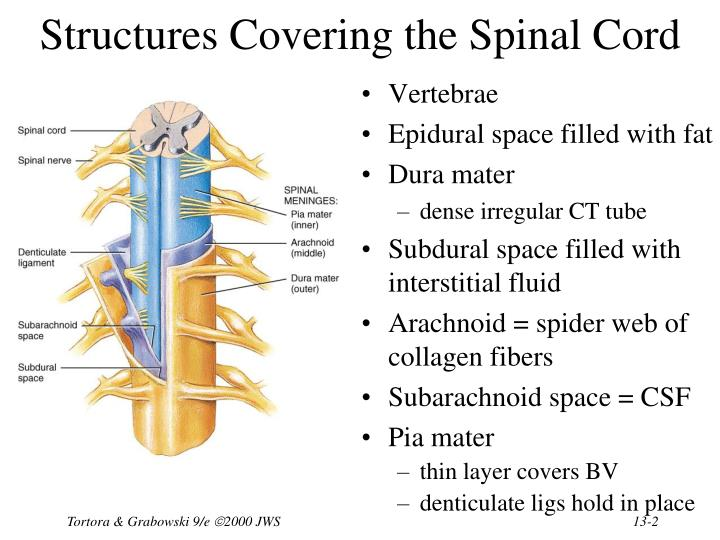 Structures covering the spinal cord