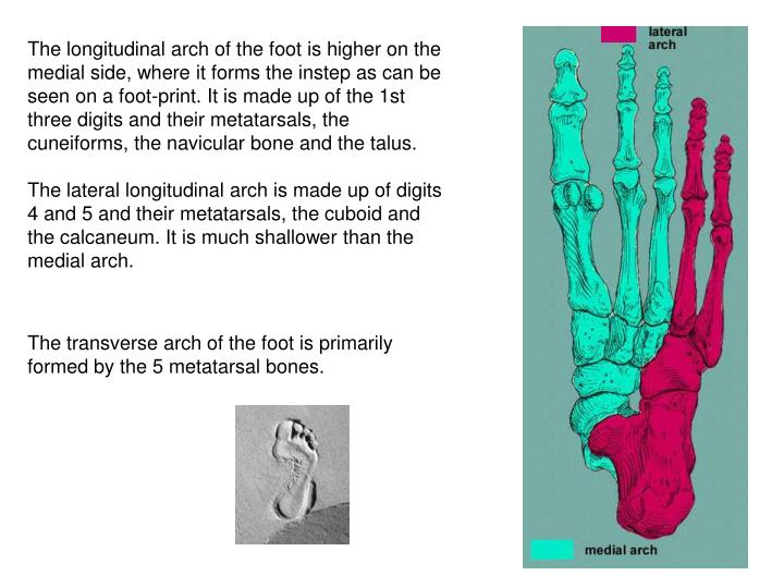 The longitudinal arch of the foot is higher on the medial side, where it forms the instep as can be seen on a foot-print. It is made up of the 1st three digits and their metatarsals, the cuneiforms, the navicular bone and the talus.