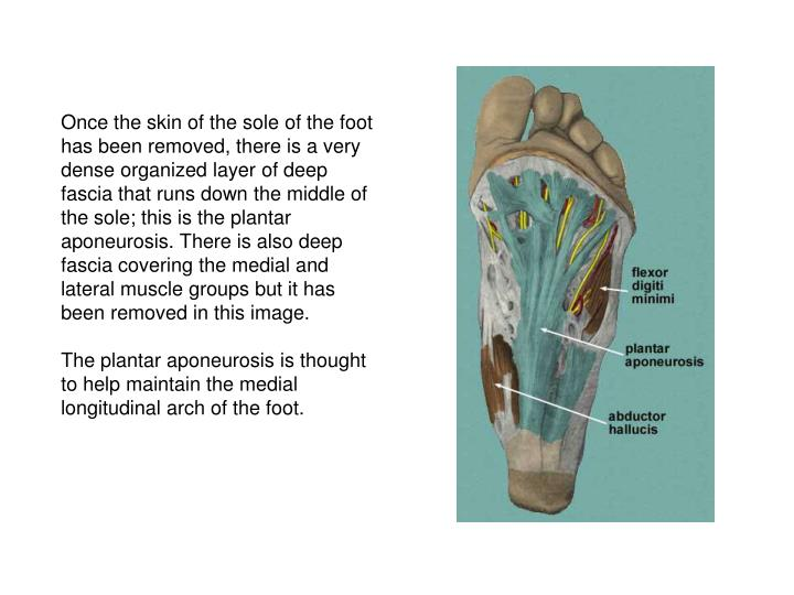 Once the skin of the sole of the foot has been removed, there is a very dense organized layer of deep fascia that runs down the middle of the sole; this is the plantar aponeurosis. There is also deep fascia covering the medial and lateral muscle groups but it has been removed in this image.
