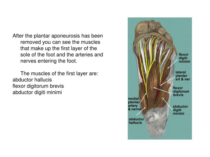 After the plantar aponeurosis has been removed you can see the muscles that make up the first layer of the sole of the foot and the arteries and nerves entering the foot.