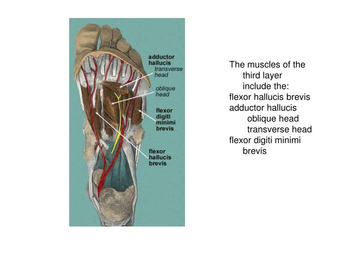 The muscles of the third layer include the: