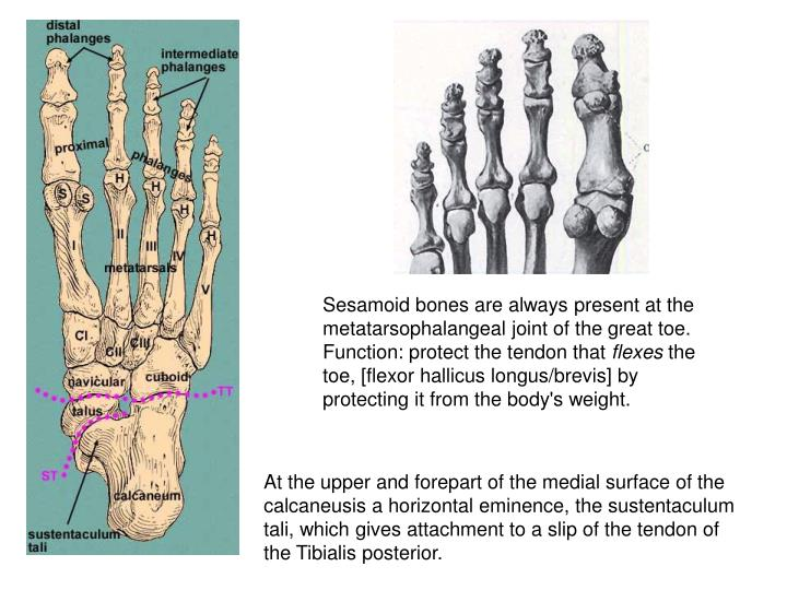 Sesamoid bones are always present at the metatarsophalangeal joint of the great toe. Function: protect the tendon that