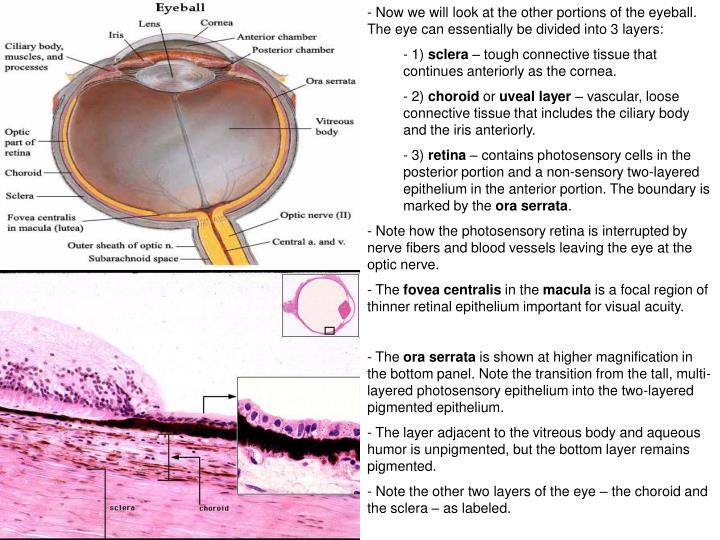 Now we will look at the other portions of the eyeball. The eye can essentially be divided into 3 layers: