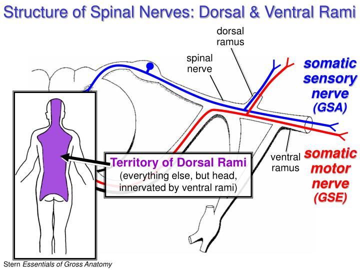 Structure of Spinal Nerves: Dorsal & Ventral Rami