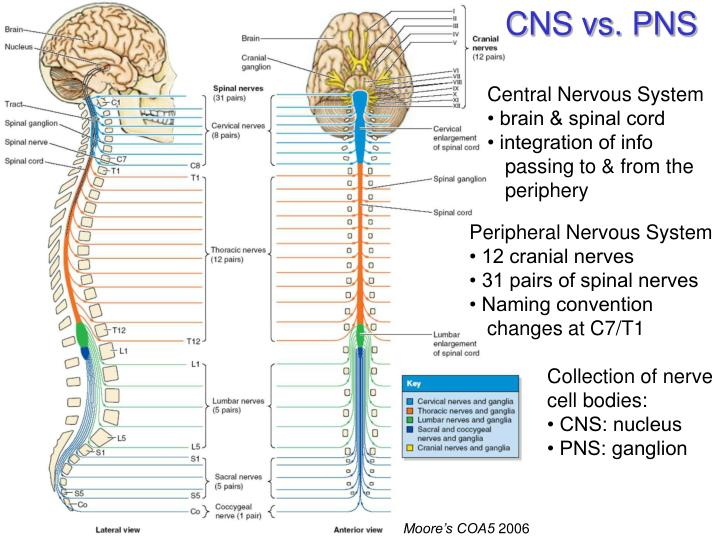 CNS vs. PNS