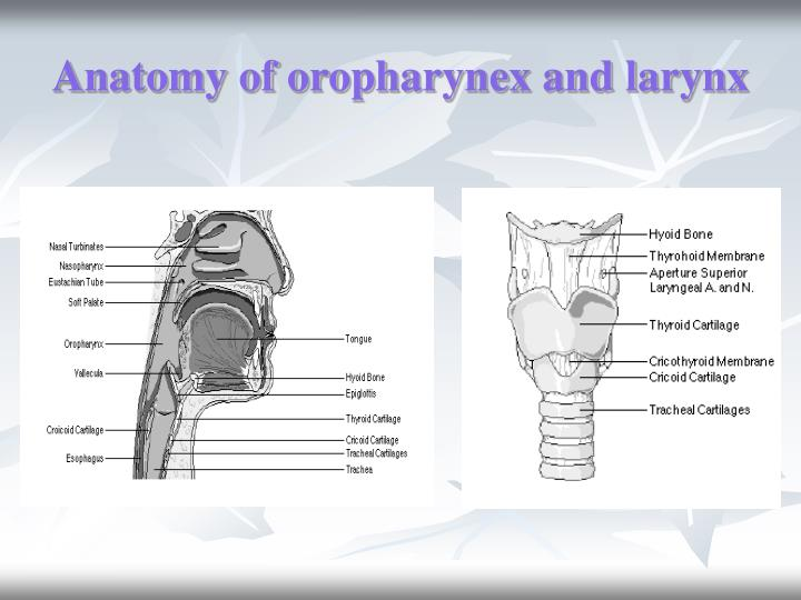 Anatomy of oropharynex and larynx