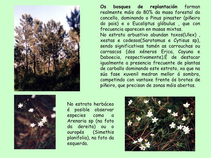 Os bosques de replantación