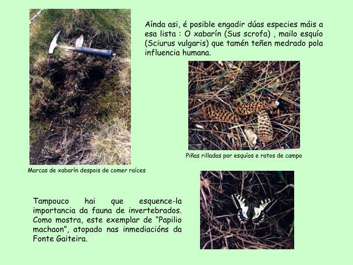 Aínda asi, é posible engadir dúas especies máis a esa lista : O xabarín (Sus scrofa) , mailo esquío (Sciurus vulgaris) que tamén teñen medrado pola influencia humana.