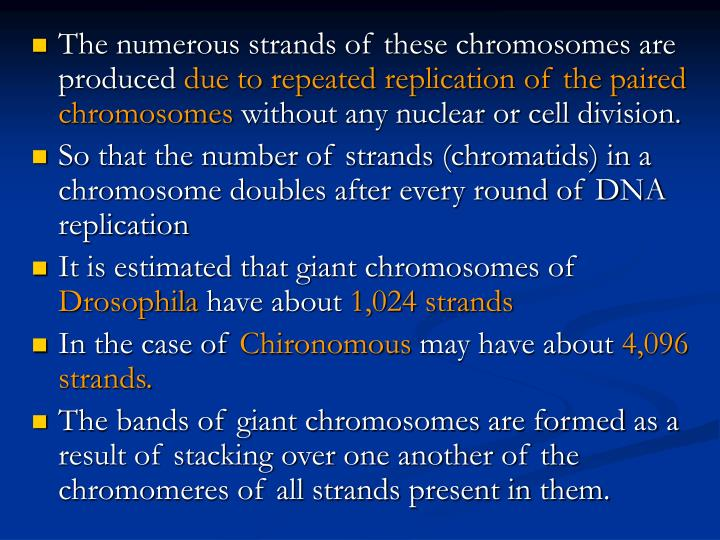The numerous strands of these chromosomes are produced