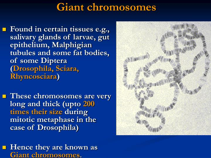 Giant chromosomes