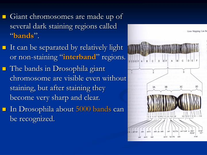 Giant chromosomes are made up of several dark staining regions called ""