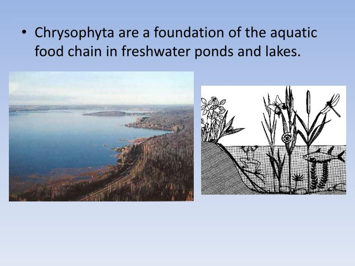 Chrysophyta are a foundation of the aquatic food chain in freshwater ponds and lakes.