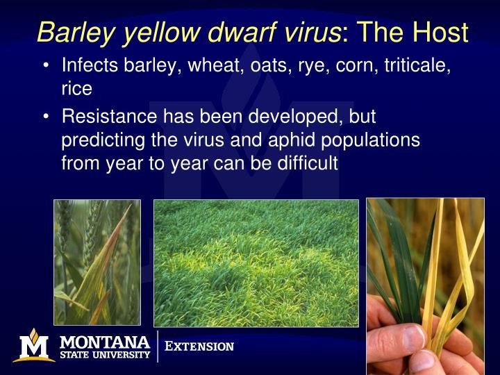 Barley yellow dwarf virus